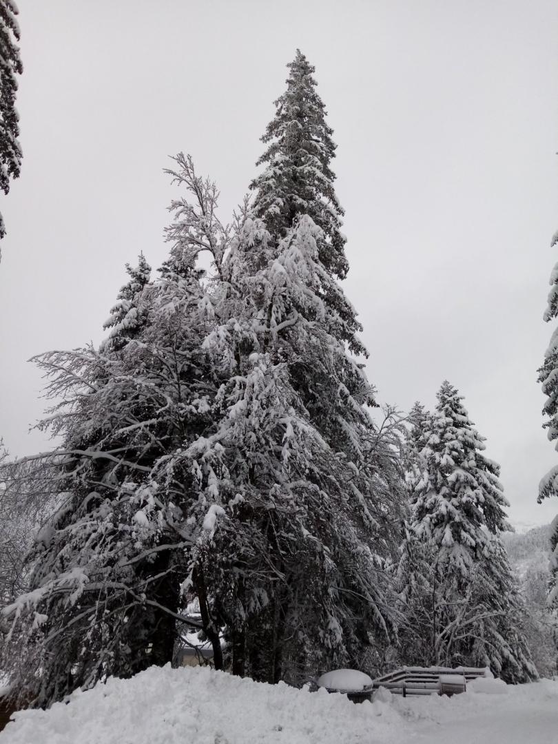 876 sapins sous la neige